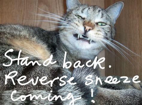 inverted sneeze cat sneezing