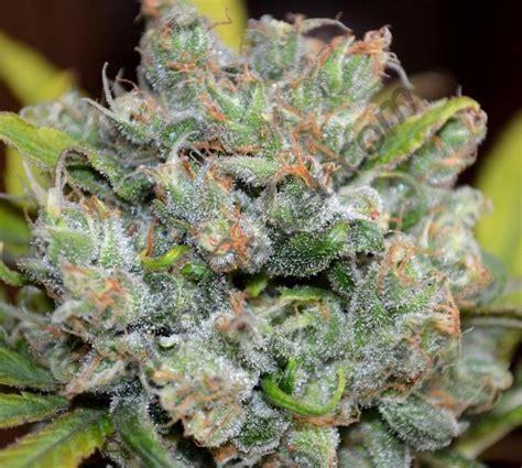 le uv cannabis les cannabino 239 des et leurs propri 233 t 233 s m 233 dicales du growshop alchimia