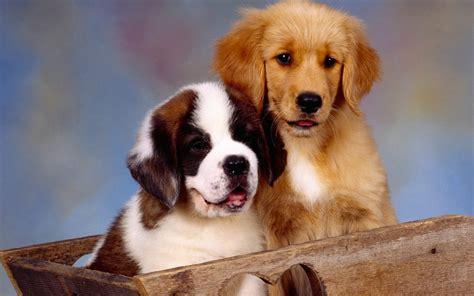 lil puppies sweethearts puppies wallpaper 22409910 fanpop