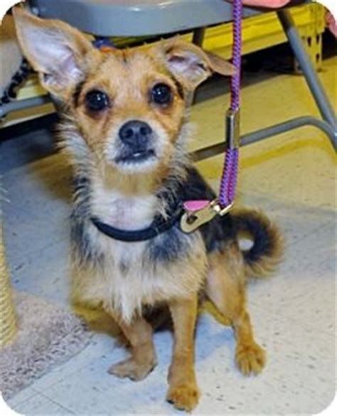yorkie border terrier mix dallas tx yorkie terrier border terrier mix meet max a for