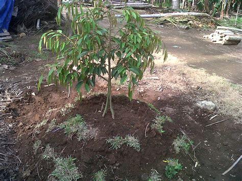 Bibit Durian Tembaga cara menanam bibit durian berbagai macam budidaya