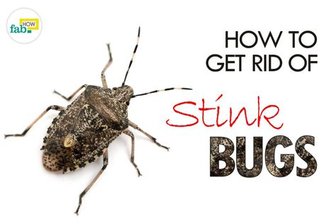 how to get rid of bugs in house plants how to get rid of stink bugs in my house 28 images how to get rid of stink bugs