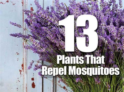 what plants keep mosquitoes away 13 plants that repel mosquitoes
