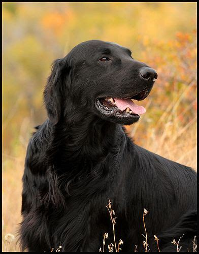 best 25 flat coated retriever ideas on black labs fluffy puppies and australian