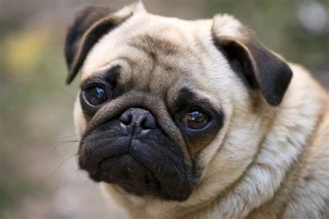 pug nose dogs brachycephalic obstructive airway flat nose dogs breathing adelaidevet