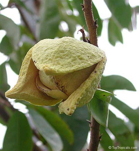 graviola tree fruit for sale annona muricata soursop guanabana graviola