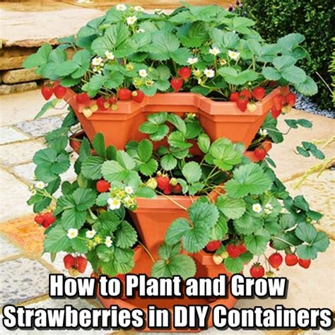 How To Plant Strawberries In A Strawberry Planter by How To Plant And Grow Strawberries In Diy Containers