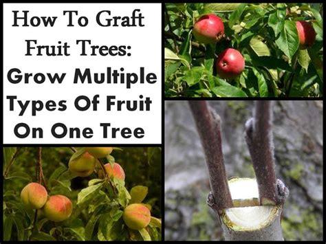 how to grow a fruit tree pin gardening avocado tree transplant on