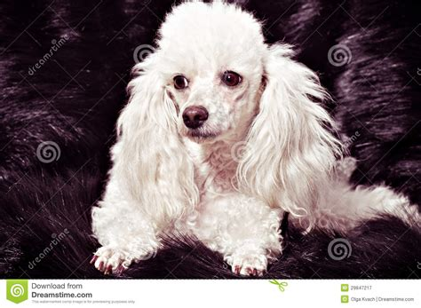 white poodle puppy white poodle puppy royalty free stock photography image 29847217