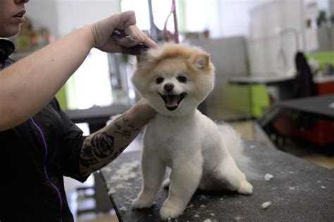 pomeranian boo haircut is boo just a pomeranian with a haircut