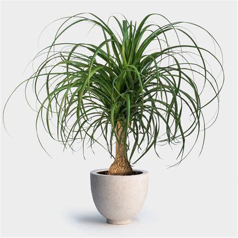 ponytail palm greenery nyc
