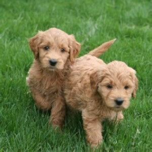 golden retriever doodle puppies retriever bradenton