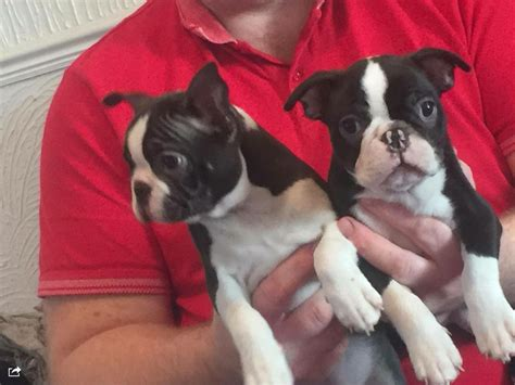 puppies for sale in boston pin boston terrier puppies for sale uk on
