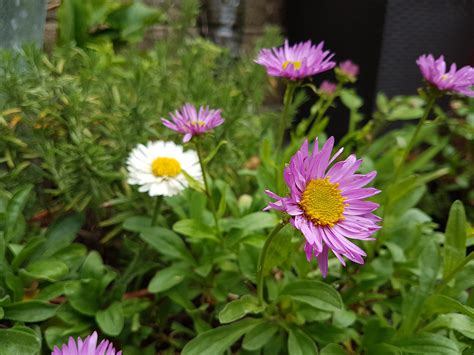 enjoy a traditional autumn daisy in may with alpine astersthe guide to gay gardening