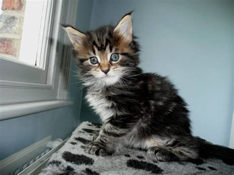 looking for cats and kittens for sale in chicago why not fabulous maine coon kittens looking for new servants