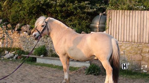 fjord horse for sale uk norwegian fjord weston super mare somerset pets4homes