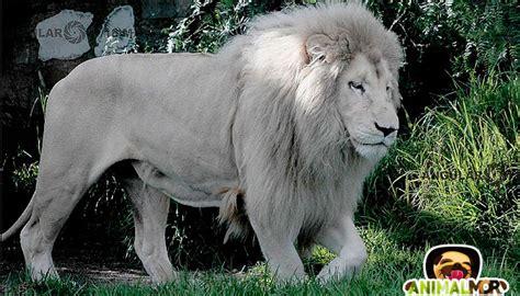 imagenes leones llorando documental sobre el famoso le 243 n blanco o albino animalmor