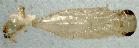 Astichus Micans Waspweb