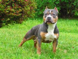 chocolate tri color pitbull puppies for sale tri color 02 avel genetik amstaff ifokus