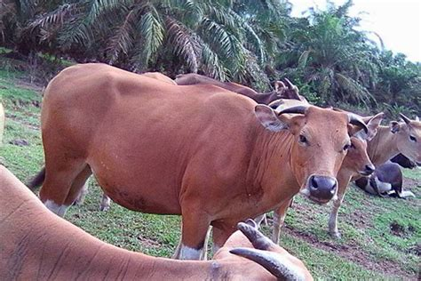 jenis penyakit berbahaya  sapi bali