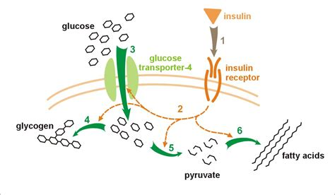 c protein insulin file insulin glucose metabolism jpg wikimedia commons