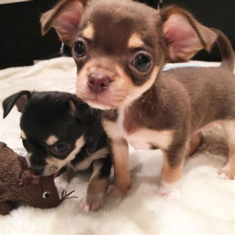 teacup chihuahua puppies for sale two superb teacup chihuahua puppies for sale derby derbyshire pets4homes
