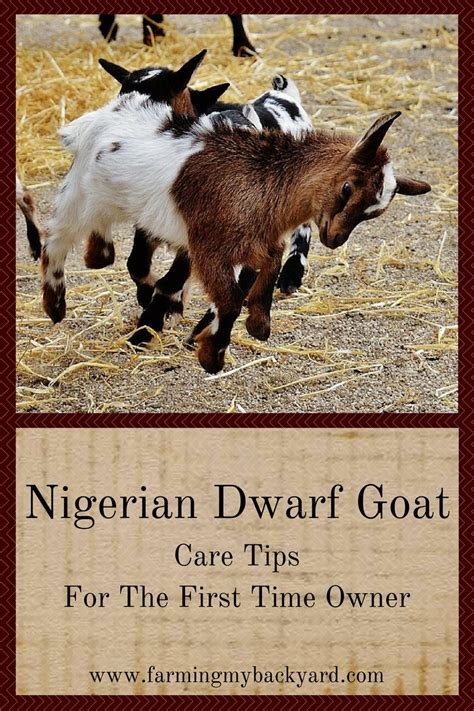 can i have goats in my backyard nigerian dwarf goat care tips for the first time owner