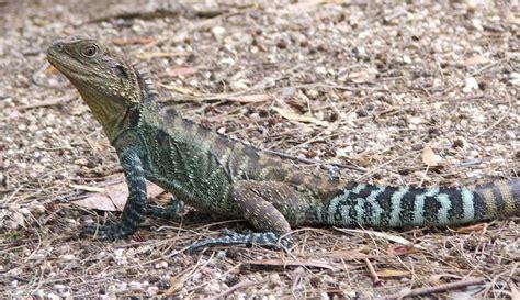 water lizard water redorbit