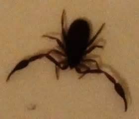 tiny bathtub bug bugguide net