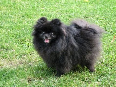 black and pomeranian best 25 black pomeranian ideas on black pomeranian puppies pomeranian puppy and