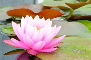 What Does A Lotus Flower Lotus Flower Meaning Flower Meaning