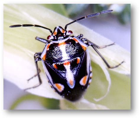 bug acis vegetable ipm updates archive acis