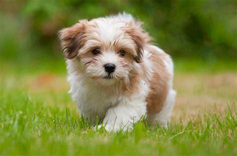 los perritos havanese 14 razas de perritos para pisos peque 241 os decorar hogar