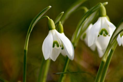 Snow Drop by Snowdrops In Norfolk