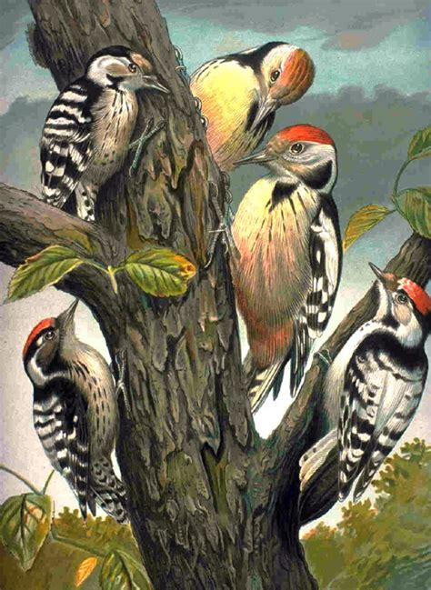 file woodpeckers family picoides png wikimedia commons