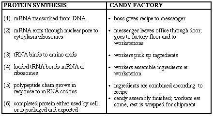 8 protein synthesis steps protein synthesis activities dna rna