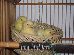 Sarang Burung Finch Kenari Dan Sejenisnya ternak kenari mania burung kenari