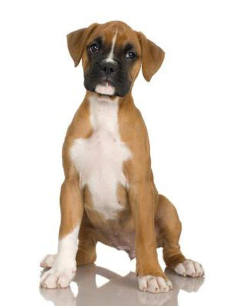 how often should you give a puppy a bath how often should you give a boxer puppy a bath pets