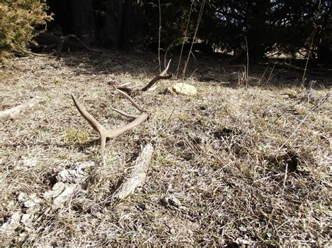 Looking For Deer Sheds by When To Look For Shed Antlers Archives Bone Collector