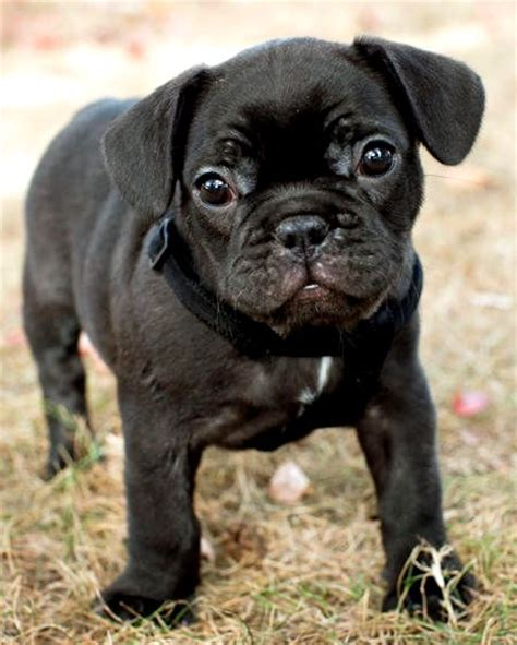 black bulldog puppies solid black bulldog photo happy heaven