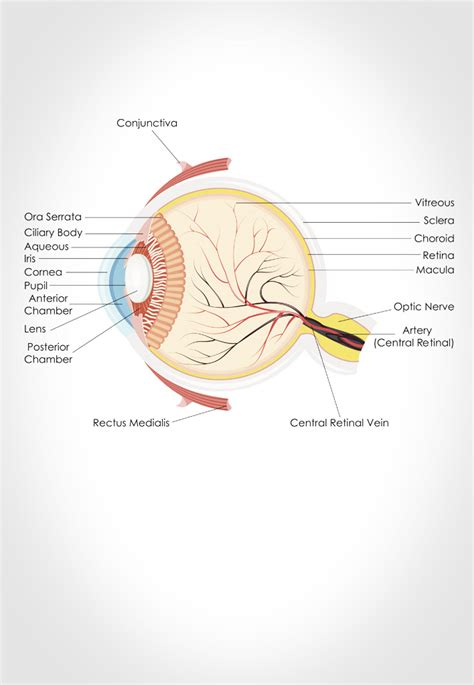 cross section of the human eye real doctors profile of gwyn williams junior doctor
