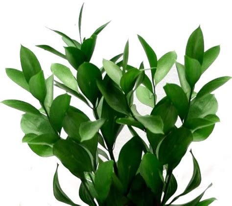italian ruscus ruscus broom butcher s butcher s broom