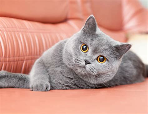 shorthair cat shorthair cat breed information pictures