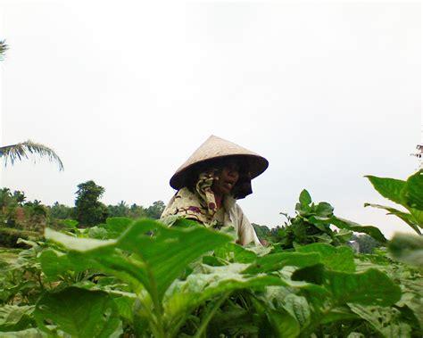 Prospek Pengembangan Desa mekar jaya pusat budidaya sayur sayuran 5 info petani