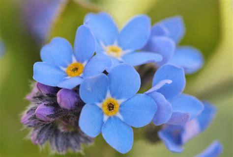 imagenes flores no me olvides kostenloses foto vergissmeinnicht bl 252 ten blume