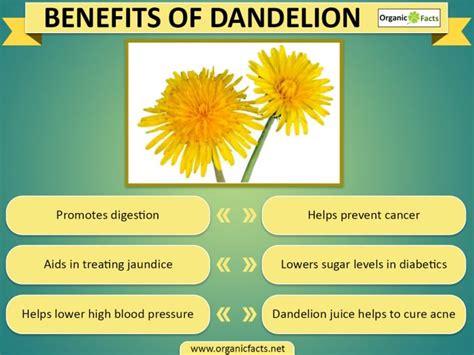 dandelion facts a picture of a dandelion impremedia net