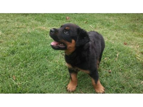 purebred rottweiler puppies for sale purebred rottweiler puppy for sale empangeni puppies for sale