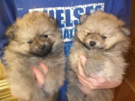 beautiful pomeranian puppies for sale 2 beautiful pomeranian puppies for sale alfreton derbyshire pets4homes