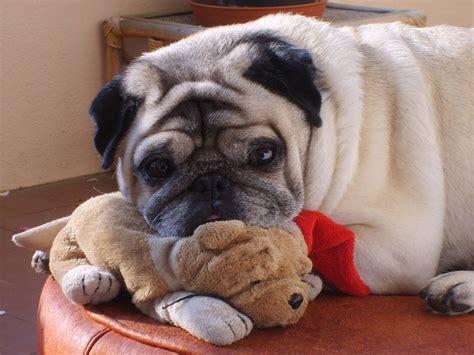 how do i my to stop biting pugpugpug how do i get my pug to stop biting