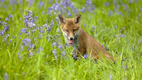 wallpaper  red fox  high grass hd animals wallpapers